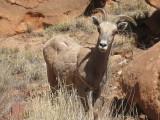 2009 April Dominguez canyon CO bighorn sheep closer