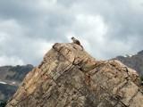 Posing marmot