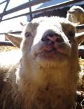 Silky Face Ewe Lamb in her dotage