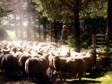 Steam sheep (photo by Marina)