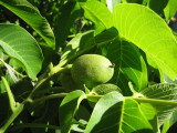 Amsouzert walnut tree