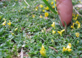 azib imi n ouassif mini flowers
