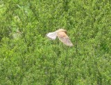 falcon hovering near Aroumd