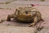 Karl's Toad - original