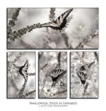 202Swallowtail in IR