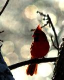 Cardinal in Ice (Crop)