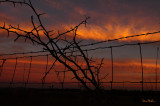 Sunset with Thorn Branches