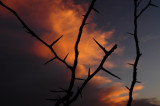 Thorny Sunset