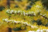 Alpine Larch (Cascade range)