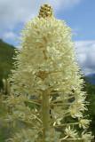 Xerophyllum tenax