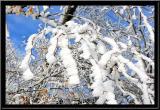 les arbres de glace...pour les arbres qui n'ont pas froid aux yeux