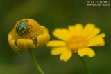 Chinche verde (Nezara viridula)
