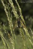 Libelloides sp.
