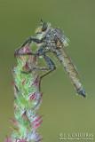 Mosca predadora o asílidas