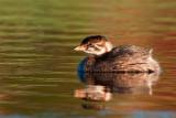 Pied-billed Grebe, juvenile at dawn, Lakewood Park, Saskatoon