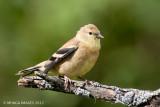 American Goldfinch, juvenile