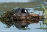 Nesting American Coot