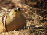 Four-banded Sandgrouse / Vierbandzandhoen