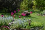 Tulipa 'Attila' og 'Forglem-mig-ej'