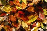 Leaf fall / Løvfald