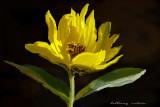 sunflower in oils