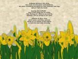 Daffodils dancing in dew drops