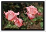 Painted Rose.jpg