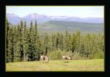 Woodland Cariboo