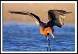 Reddish Egret Taking A Bow