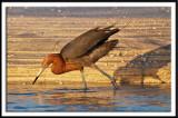 Intense Reddish Egret