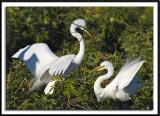 Nest Building Great Egrets