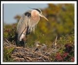 Heron Chicks Sparring