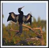 An Anhinga Dries Its Wings