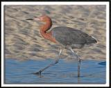 Reddish Egret Out For A Stroll