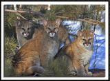 Cougars Posing
