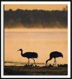 Sandhill Crane Silhouettes at Dawn