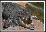 Toothy Gator