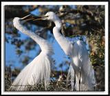 Playful Egrets