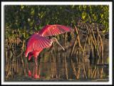 Spoonbill Among the Mangroves