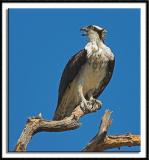 Irritated Osprey