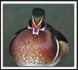 Stern Wood Duck