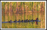 Red Headed Duck Family