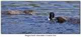 Plongeon huard / Common LoonLa leçon de pêche / Fishing Lesson