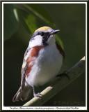 Paruline à flancs marronChestnut-sided Warbler
