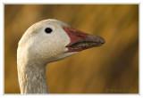 Cap Tourmente - Oies / Geese