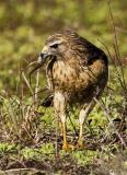 Buse à épaulettes / Red-shouldered Hawk