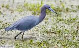 Aigrette bleue / Little Blue Heron