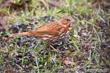Bruant fauve / Fox Sparrow