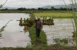 Farmer Transplanting Rice .jpg