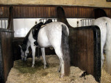 A white horse with black mane and tail